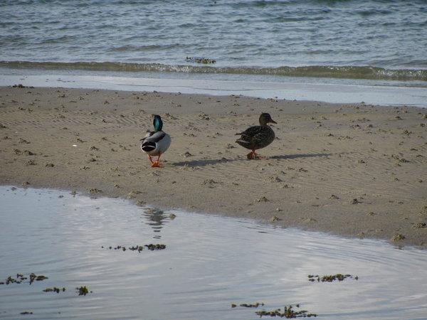Fast täglich wechselt das Küstenbild, bei Niedrigwasser spazieren die Enten auf der Sandbank