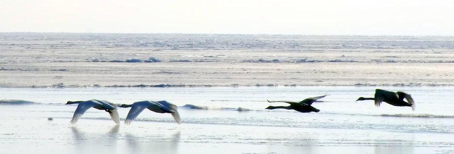 Schwäne fliegen über der Ostsee in Sellin