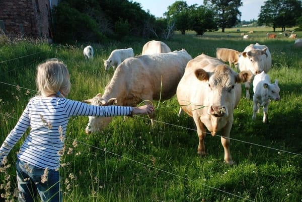 Bauernhofleben in echt - Kühe direkt hinterm Gartenzaun