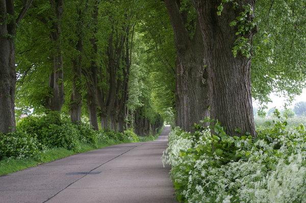 einer der vielen schönen Alleen auf Usedom