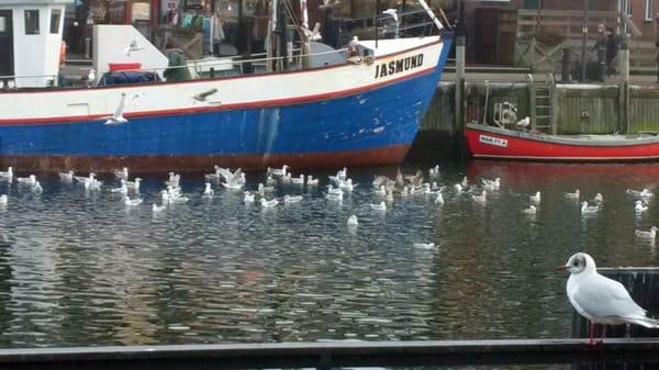 Warnemünde am Alten Strom warten die Möwen auf Futter von den Fischkuttern