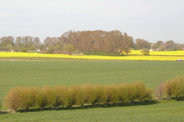 Rapsfelder