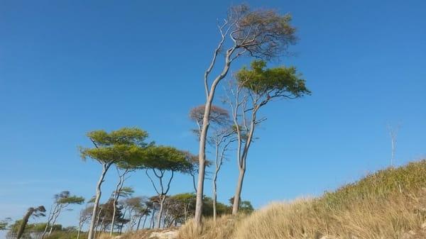 berühmte Windflüchter am nuturbelassenen Weststrand