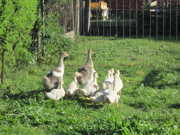 Unsere Enten und Gänse