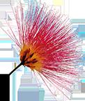 kwiat jedwabiu