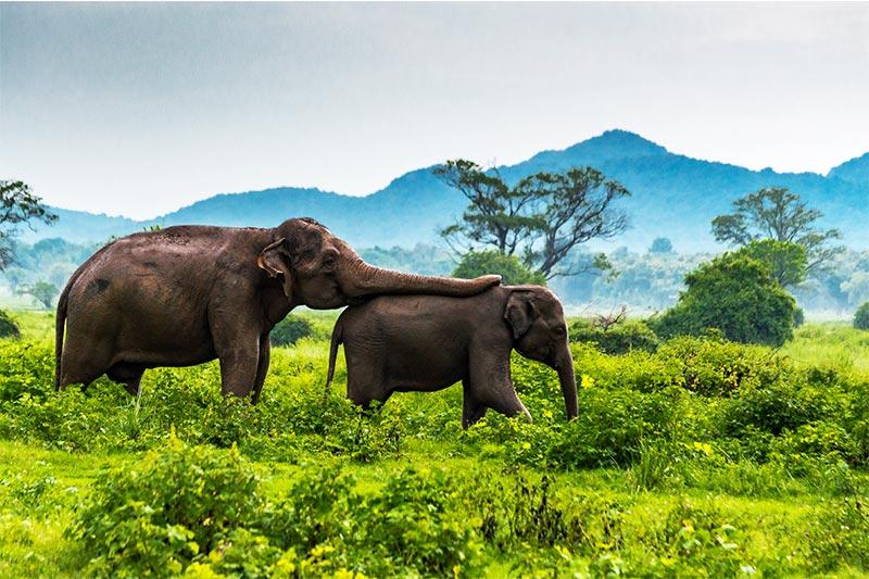 Minneriya National Park, Srilanka