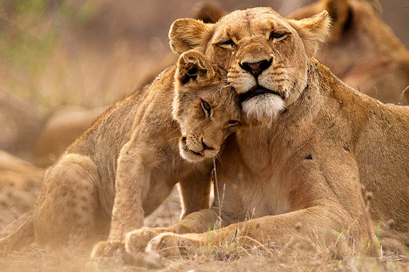 Family of LIons , South Africa