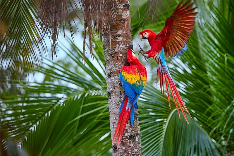 Parrots in Peru