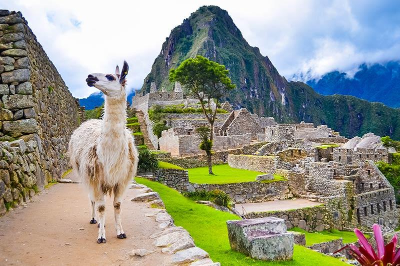 Lamas in Peru 2