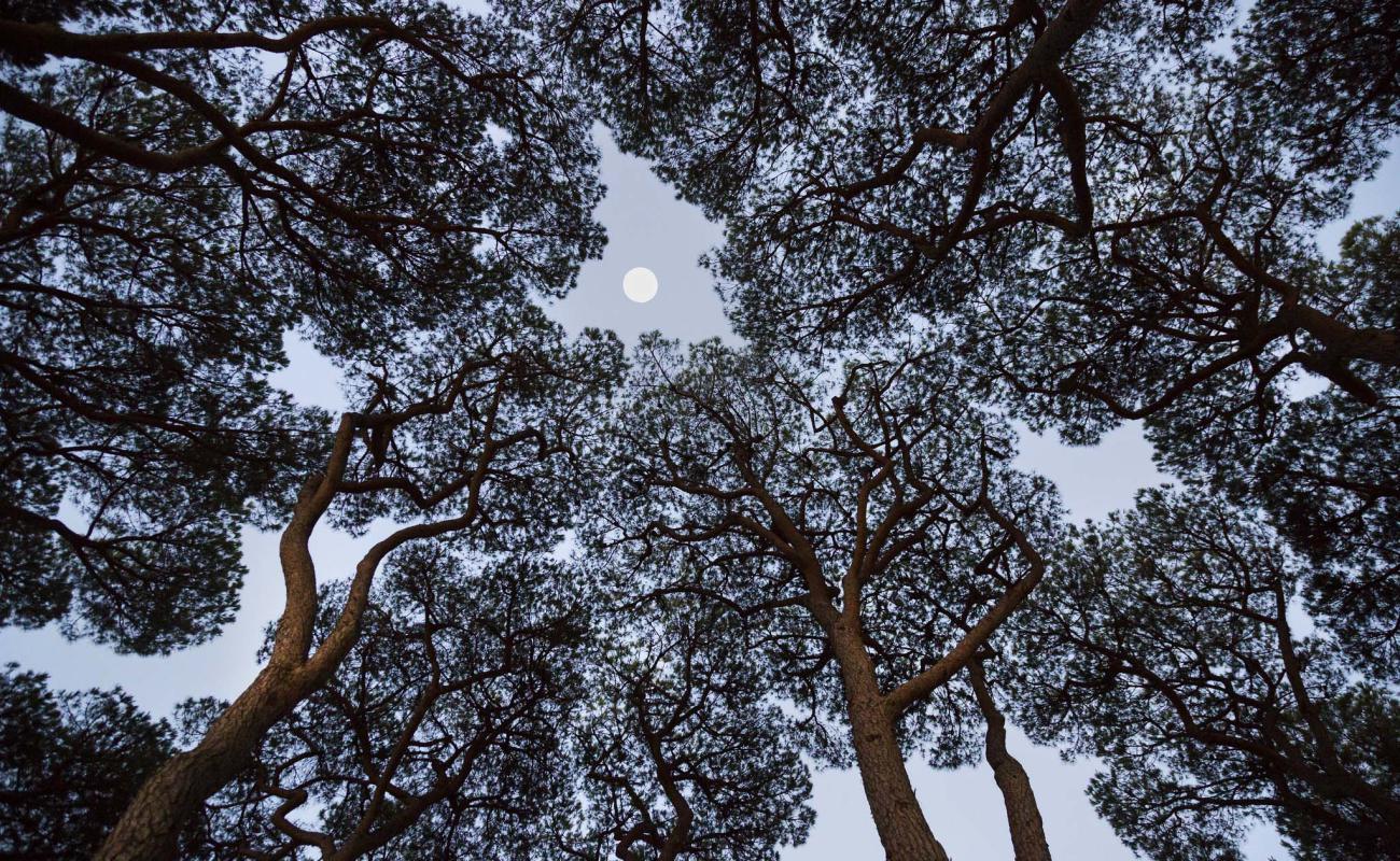 Pineta del Park Albatros con luna | San Vincenzo