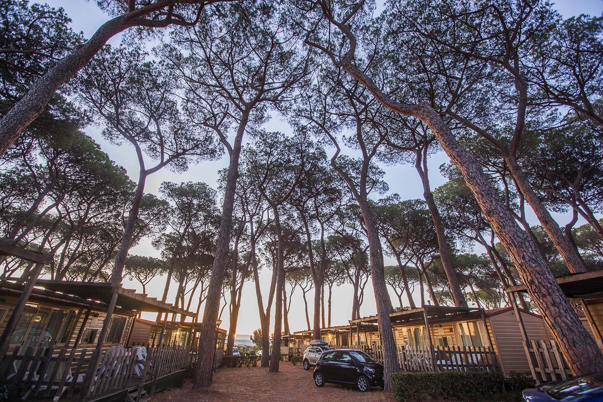 Pineta secolare sulla costa romana vicino a Ostia | Lazio