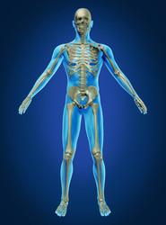 Apparato muscolare e scheletrico (muscoloscheletrico)