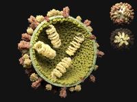 Influenza_suina | Pazienti.it
