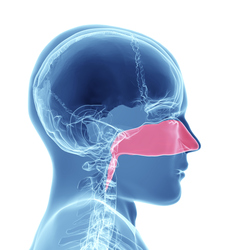 Cavità nasale