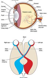 Chiasma ottico | Pazienti.it