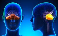 Cervelletto | Pazienti.it