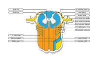 Midollo spinale | Pazienti.it