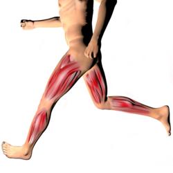Muscolo adduttore