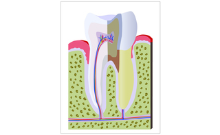 Alveolo dentale