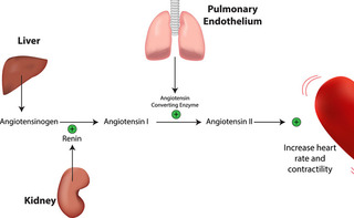 Angiotensina