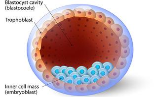 Blastocisti