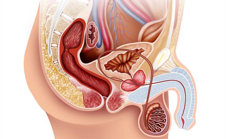 erezione degli organi genitali maschili