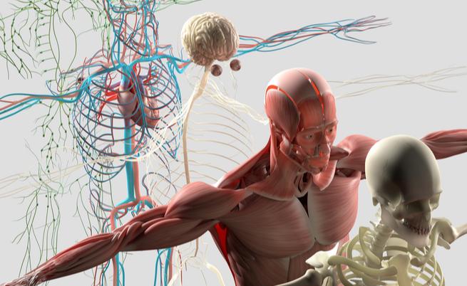 Scoperto un nuovo organo: interstizio