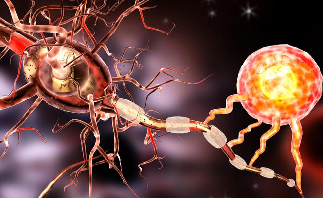 Dalla flora intestinale un batterio per proteggerci dalla sclerosi multipla