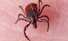 zecche: il pericoloso virus trasmesso