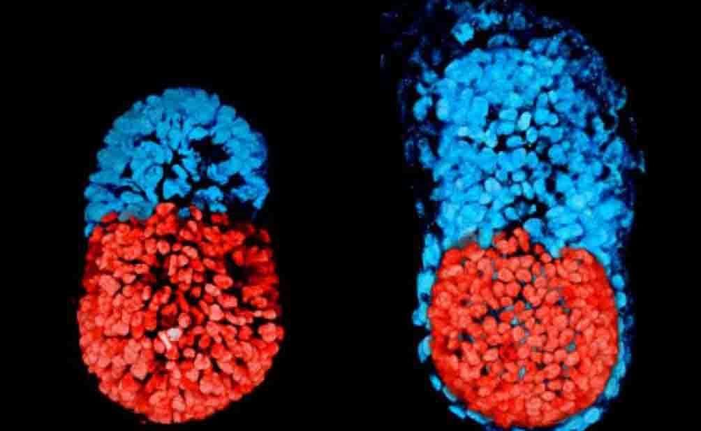 embrione artificiale di topo creato per la prima volta