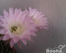 Eladó kaktuszok
