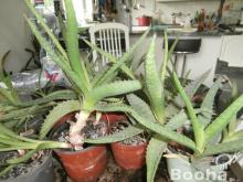 Aloe Vera dísznövény