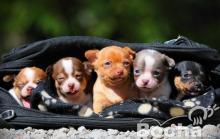 Férfi és női Chihuahua kiskutyák játék