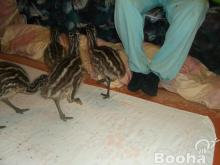 Emu eladó Fejér megye
