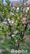 Őszi ültetésre szilvafa csemete és milotai 10-es magonc eladó