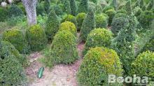Buxus különböző méretben és formában!