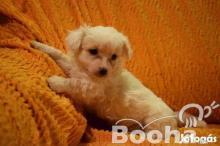 Bolognese kiskutyák eladók féregtelenítve