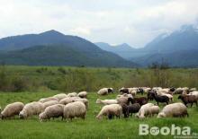 juhok és kecskék