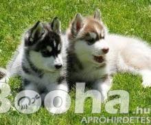 4 Szibériai husky kiskutyák eladók.