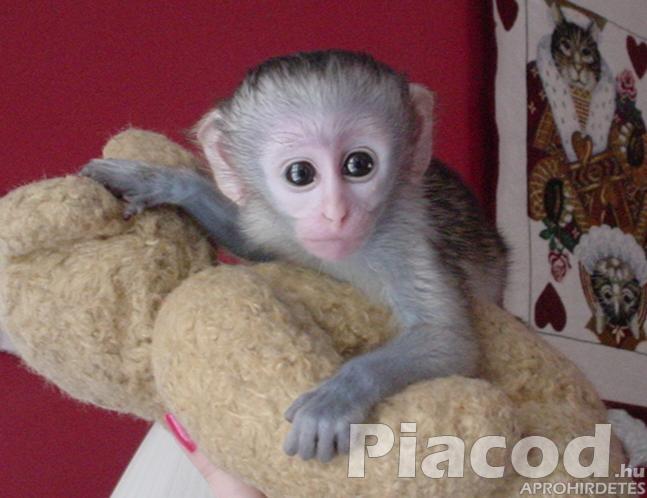 babakapucinus majmok eladó