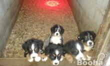 8 hetes Berni pásztor kiskutyák eladók
