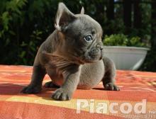 Gyönyörű francia bulldog kölyökkutyák.