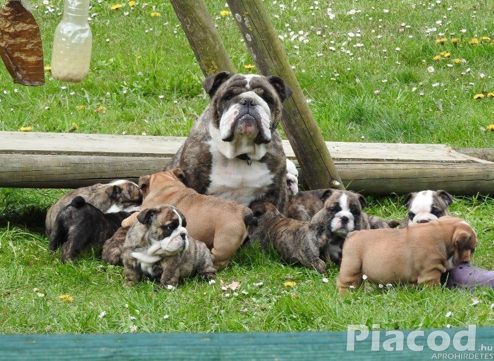 Angol bulldog kölyökkutyák kaphatók