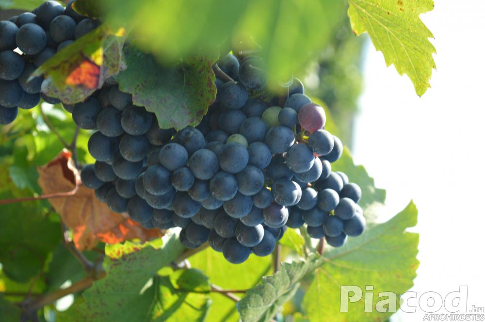 Minőségi bor szőllő