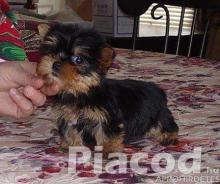 Yorkie Terrier kölyökkutyák örökbefogadás céljából