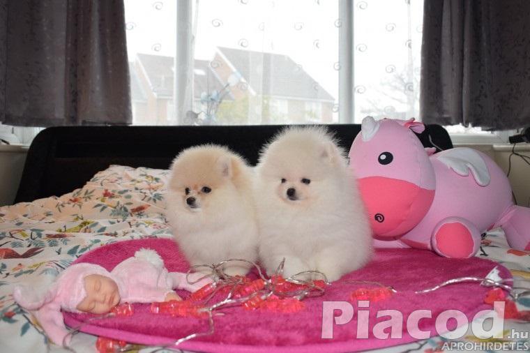 Pomerán kölyökkutyák otthona számára
