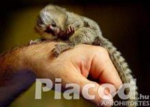 Marmoset majmok örökbefogadásra