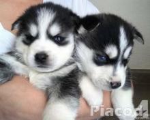 2 szibériai husky kölyök