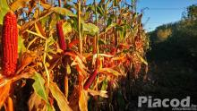 ÚJ! - PK-005 – Bivaly - Organikus Kukorica Előrendelési AKCIÓ