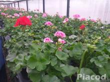 Eladó balkon és egynyári virágok